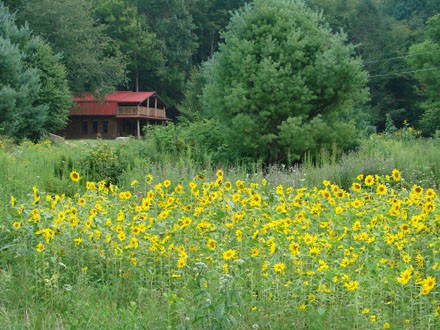 cabin in sunflower field