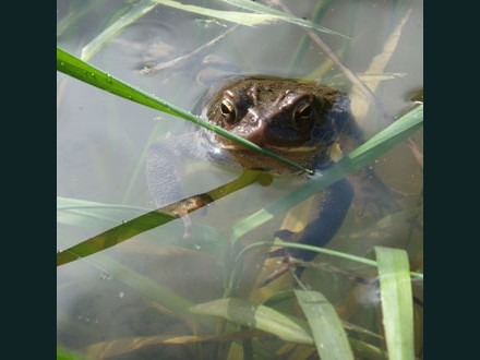 017 Common Toad