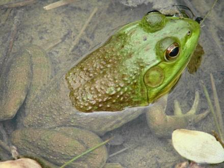 018 Bullfrog