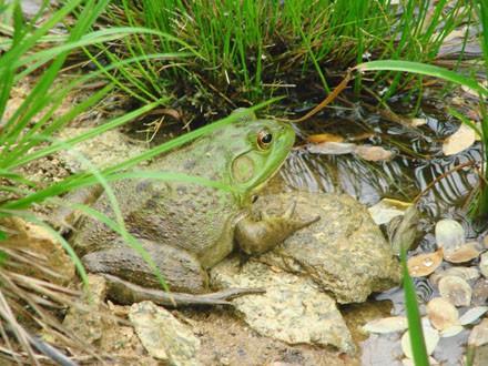 019 Bull Frog