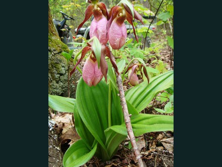 049 WildFlower, Lady Slippers