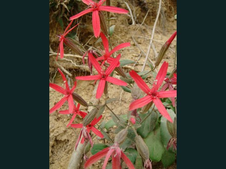 052 Wildflower, Red Star of David