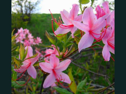 056 Wild Azalea